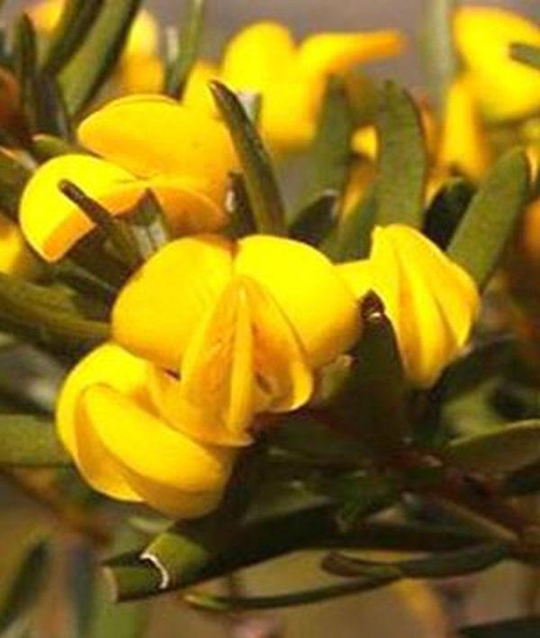 Honeybush – Herbal Tea
